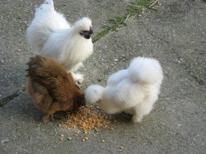 Auf der Fläche der Bio-Gärtnerei selbst helfen uns unsere Seidenhühner (Sie dürfen sie gerne streicheln!) gegen Unkrautsamen, Schneckeneier, Dickmaulrüssler und andere Lästlinge.