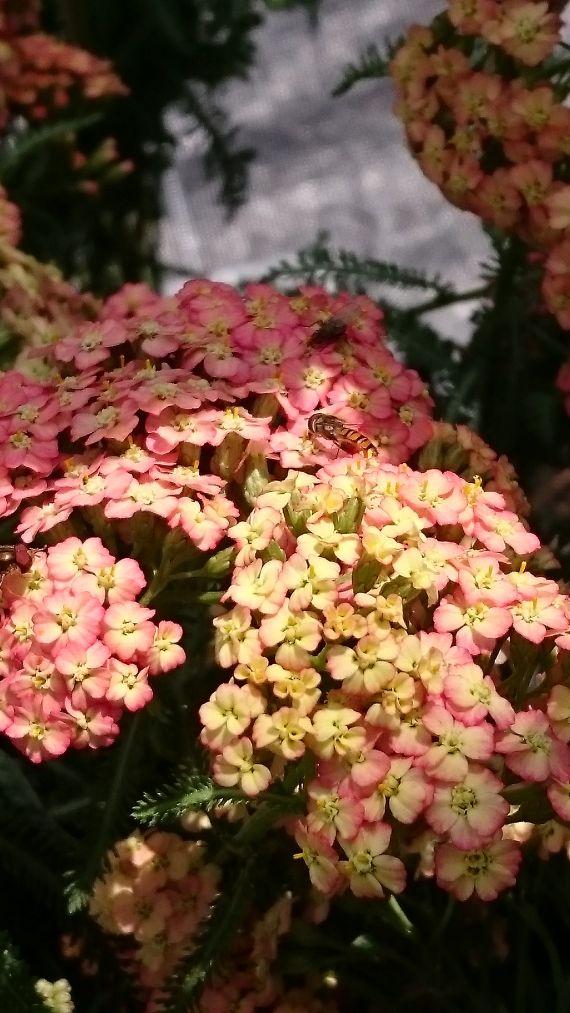 Bio Schafgarbe Achillea x millefolium 'Lachsschönheit' Beste Bio Stauden aus Bayern - Forssman