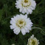 Chamaemelum nobile 'Plenum' Beste Bio Stauden aus Bayern Stauden Forssman