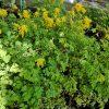 Corydalis lutea  Beste Bio Stauden aus Bayern Gärtnerei Forssman