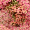 Bio Schafgarbe Achillea x millefolium 'Lachsschönheit' Bio Pflanzen Versand Stauden Forssman nahe München