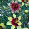 Bio Mädchenauge Coreopsis verticillata 'Route 66' Bio Pflanzenversand Stauden Forssman nahe München