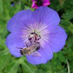 Bio Storchschnabel Geranium wallichianum 'Rozanne' ('Jolly Bee') mit Biene Bio Stauden Versand Forssman Niederbayern