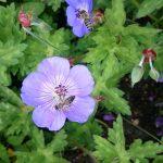 Bio Storchschnabel Geranium wallichianum 'Rozanne' ('Jolly Bee') mit Biene Bio Pflanzen Versand Stauden Forssman nahe München