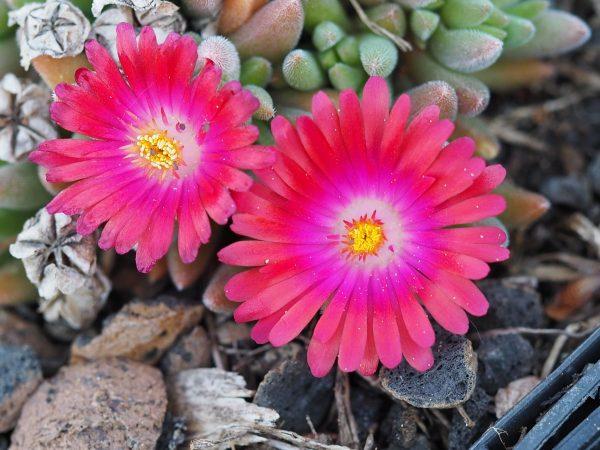 Eigenzüchtung Bio Mittagsblume Delosperma x aberdeenense 'Goven Mbeki' Bio Stauden Versand Forssman in Niederbayern