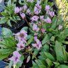 Dodecatheon pulchellum 'Hellrosa Selektion' Stauden Forssman Bio Pflanzen per Paket