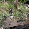 Gypsophila repens 'Filou Rosa' Bio Stauden kaufen im Online Versand von Gärtnerei Forssman