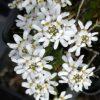 Iberis sempervirens 'Schneeflocke' Stauden Forssman Bio Pflanzen Versand mit Online Shop