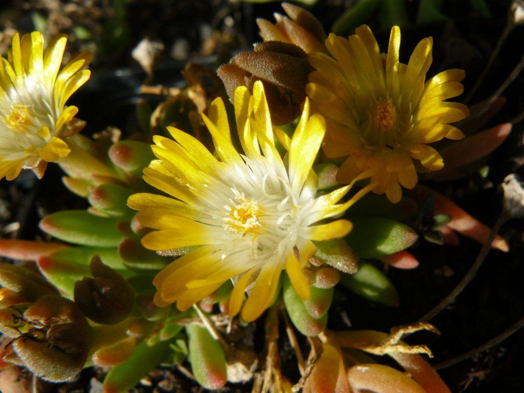 Bio Mittagsblume Delosperma hyb. 'Lesotho' Online Pflanzen Versand Web Shop Forssman