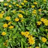 Ranunculus ficaria 'Colorette' Stauden Forssman Bio Pflanzen Versand mit Online Shop