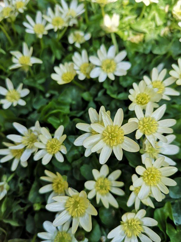Ranunculus ficaria 'Salmon´s White' Stauden Forssman Bio Pflanzen Versand aus dem Online Shop