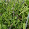 Salvia nemorosa 'Blauhügel' Staudengärtnerei Forssman Beste Bio Stauden aus Bayern