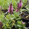 Salvia nemorosa 'Morgenröte' Staudengärtnerei Forssman Beste Bio Stauden aus Bayern