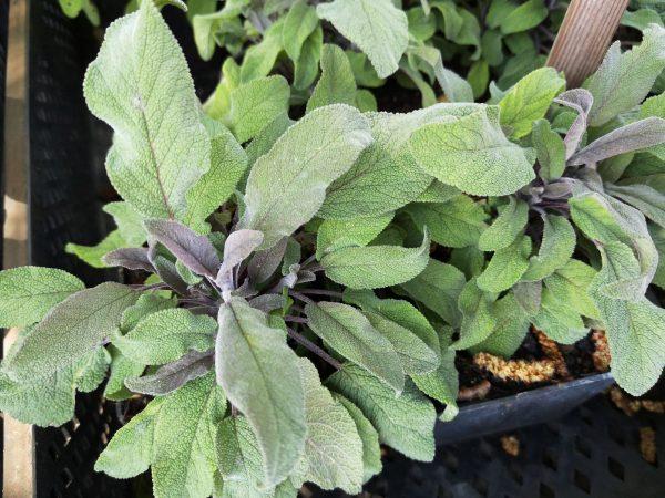 Salvia officinalis 'Purpurascens' Gärtnerei Forssman Beste Bio Stauden aus Nieder-Bayern mit Online Shop