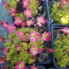 Saxifraga caespitosa 'Hitzkopf' Stauden Forssman Bio Pflanzen per Paket