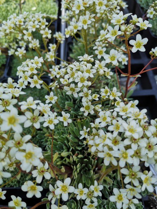 Saxifraga paniculata (aizoon) Stauden Forssman Bio Pflanzenversand in Niederbayern