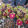 Saxifraga x arendsii 'Luschtinez'   Stauden Forssman Bio Pflanzen Versand mit Online Shop