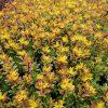 Bio Fetthenne Fettblatt Sedum floriferum 'Weihenstephaner Gold' Bio Stauden Versand Forssman aus Nieder Bayern