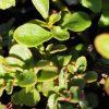 Sedum x hybridum 'Immergrünchen' Stauden Forssman Bio Pflanzenversand