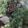 Thymus citriodorus Stauden Forssman Bio Pflanzenversand