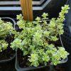 Thymus citriodorus 'Aureus' Stauden Forssman Bio Pflanzenversand