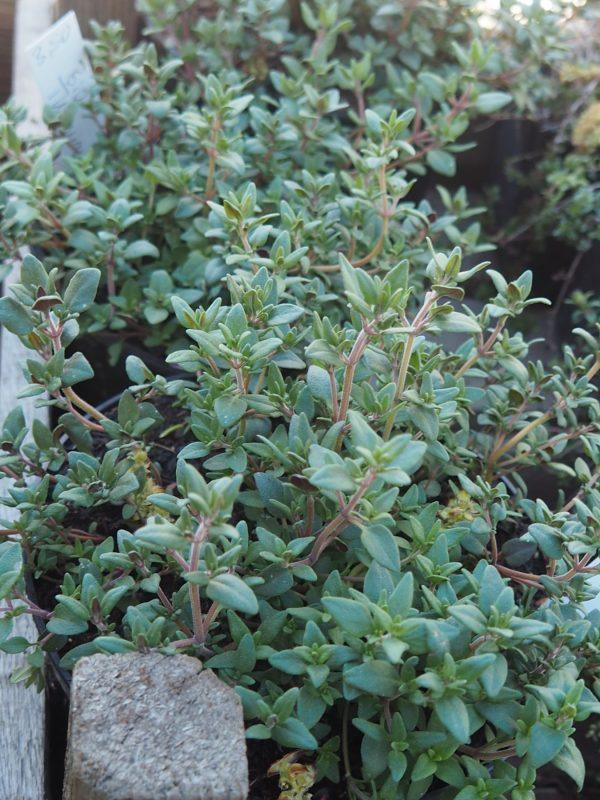 Thymus fragantissima Stauden Forssman Bio Pflanzenversand