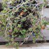 Thymus herba-barona Stauden Forssman Bio Pflanzenversand