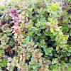Thymus serpyllum Stauden Forssman Bio Pflanzenversand