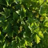 Waldsteinia geoides Stauden Forssman Bio Pflanzen Versand mit Online Shop