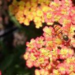 achillea_feuerland_insekt
