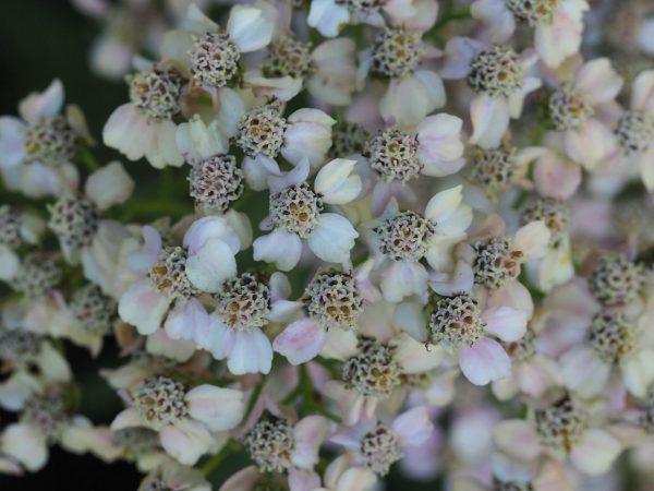 Achillea millefolium 'Apfelblüte' Staudengärtnerei Forssman Beste Bio Stauden aus Bayern