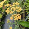 Achillea millefolium'Terracotta' Staudengärtnerei Forssman Beste Bio Stauden aus Bayern
