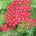 Bio Schafgarbe Achillea x millefolium 'Petra' Bio-Stauden kaufen im Online-Versand Forssman