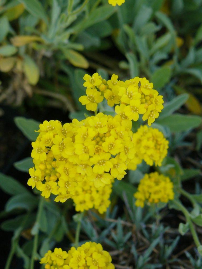 Bio Steinkraut Alyssum saxatile 'Compactum Goldkugel' Gärtnerei Forssman Beste Bio Stauden aus Bayern Neu: Aurinia saxatilis 'Compactum Goldkugel'