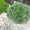 Bio Edelraute Artemisia schmidtiana 'Nana' Bienen Stauden Versand aus Gangkofen in Niederbayern