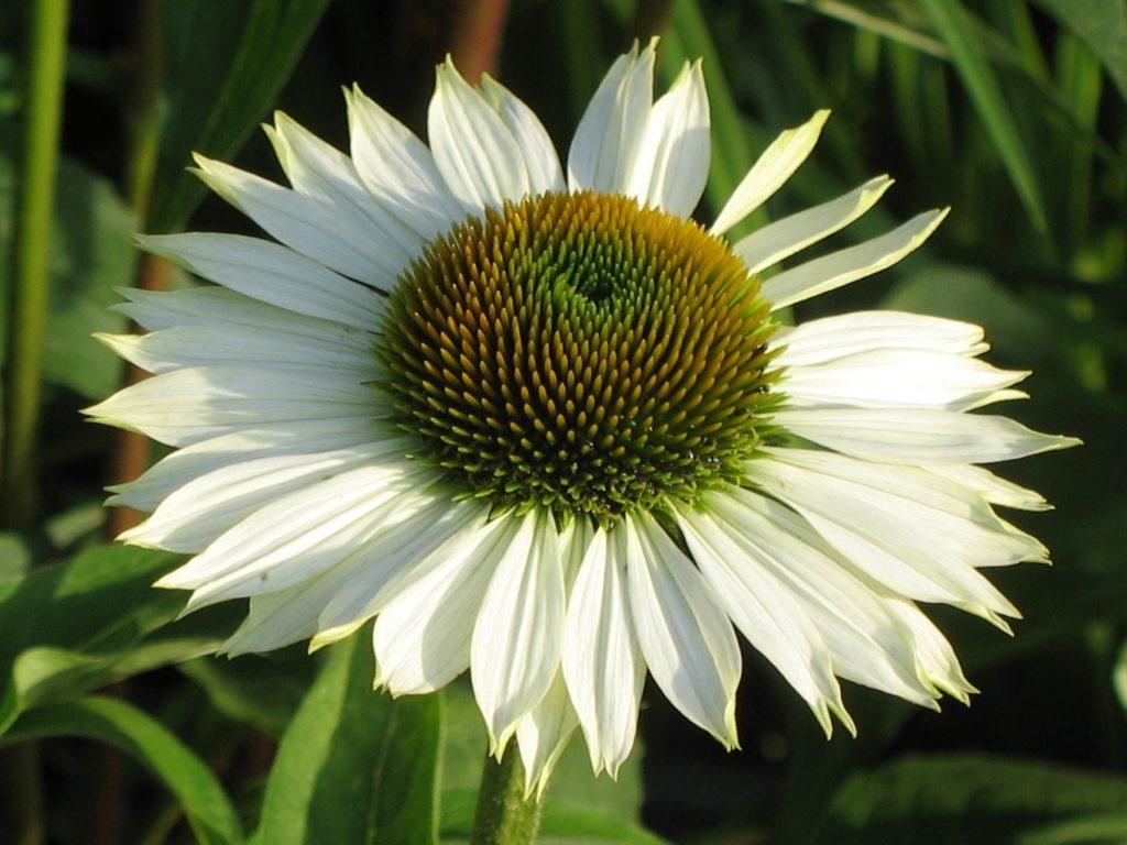 Echinacea purpurea 'Happy Star' Stauden Forssman Beste Bio Stauden aus Bayern