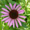 Bio Purpur Schein Sonnenhut Echinacea purpurea 'Rubinstern' Forssman Bio Stauden kaufen im Online Versand