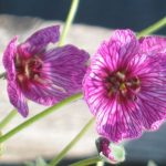 Bio Grauer Steingarten Storchschnabel Geranium cinereum 'Purple Pillow' Forssman Bio Stauden Versand