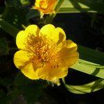 Bio Gold Gelbe Nelkenwurz Geum x montanum 'Diana' Staudengärtnerei Forssman Beste Bio Stauden aus Nieder-Bayern Online per Versand