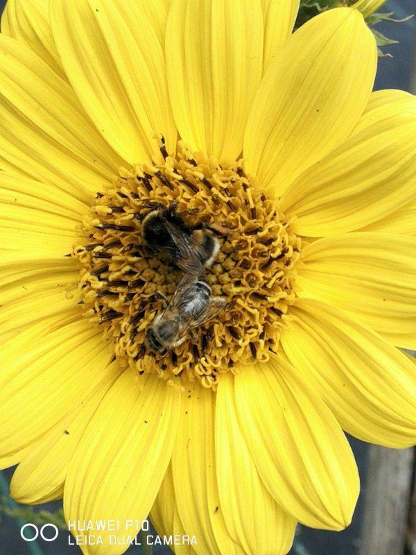 Bio Stauden Sonnenblume Helianthus decapetalus 'Triomphe de Gand' Online im Web Shop von Bio Stauden Forssman zum Versand bestellen