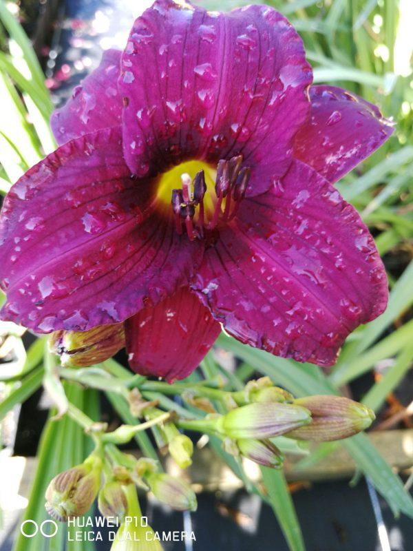 Bio Taglilie Hemerocallis 'Purple Rain' Beste Bienen Stauden aus Nieder Bayern im Online-Shop bestellen
