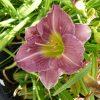 Bio Taglilie Hemerocallis hyb. 'Lavender with Eyes' Beste Bio Stauden aus Bayern im Online-Shop bestellen
