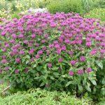 Bio Indianernessel Monarda fistulosa 'Saxon Purple' Bio Stauden Versand Forssman