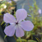 Bio Wald Phlox divaricata 'Clouds of Perfume' Bio Pflanzen Versand Stauden Forssman nahe München