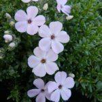 Bio Polster-Phlox douglasi 'Lilac Cloud' Gärtnerei Forssman Pflanzenversand in Niederbayern