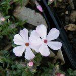 Bio Polster-Phlox douglasi 'Lubovice' Gärtnerei Forssman Pflanzenversand in Niederbayern