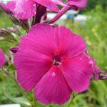 Bio Sommer Phlox paniculata 'Aida' Bio Kräuter Online im Web-Shop von Bio Stauden Forssman zum Versand bestellen
