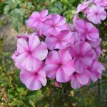 Bio Flammenblume Phlox paniculata 'Ballnacht' Bio Pflanzen Versand Stauden Forssman