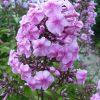 Flammenblume Phlox paniculata 'Ballnacht' Bio Pflanzen Versand Stauden Forssman