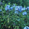 Bio Flammenblume Hoher-Stauden-Phlox paniculata 'Blue Paradise' Staudengärtnerei Forssman Beste Bio Stauden aus Bayern